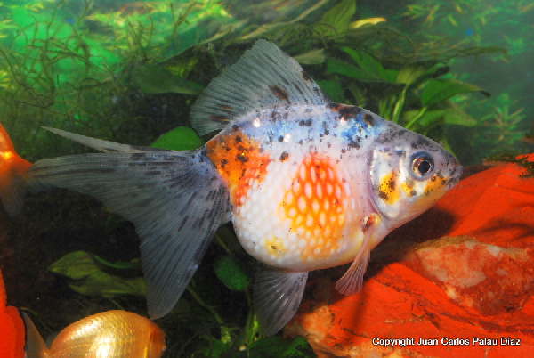 Photo de Poisson Carassius auratus