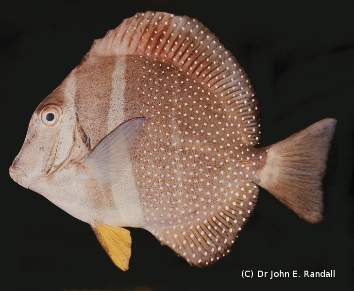Photo de Acanthurus guttatus