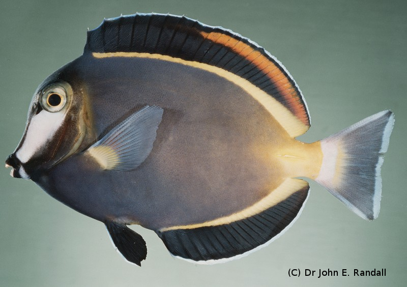 Photo de Acanthurus japonicus