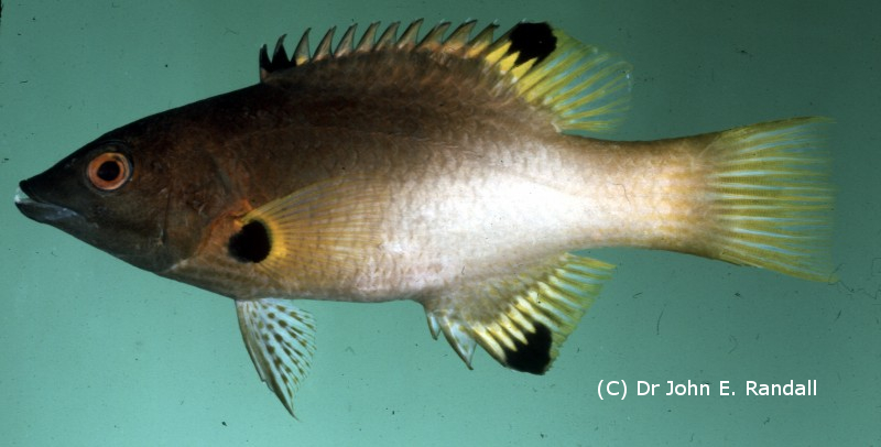 Photo de  Bodianus axillaris