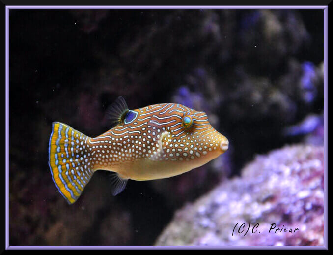 Photo de Poisson Canthigaster solandri