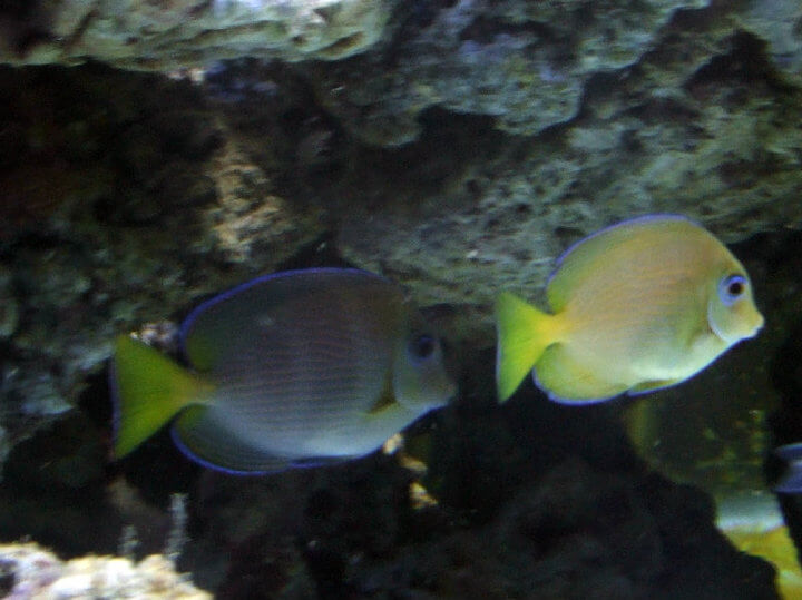 Photo de Acanthurus coeruleus