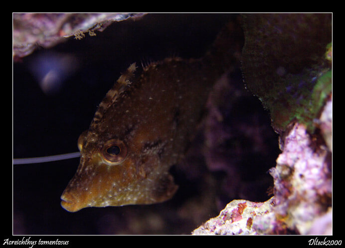 Photo de  Acreichthys tomentosus