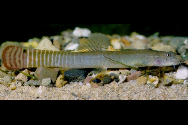 Photo de Aborichthys elongatus