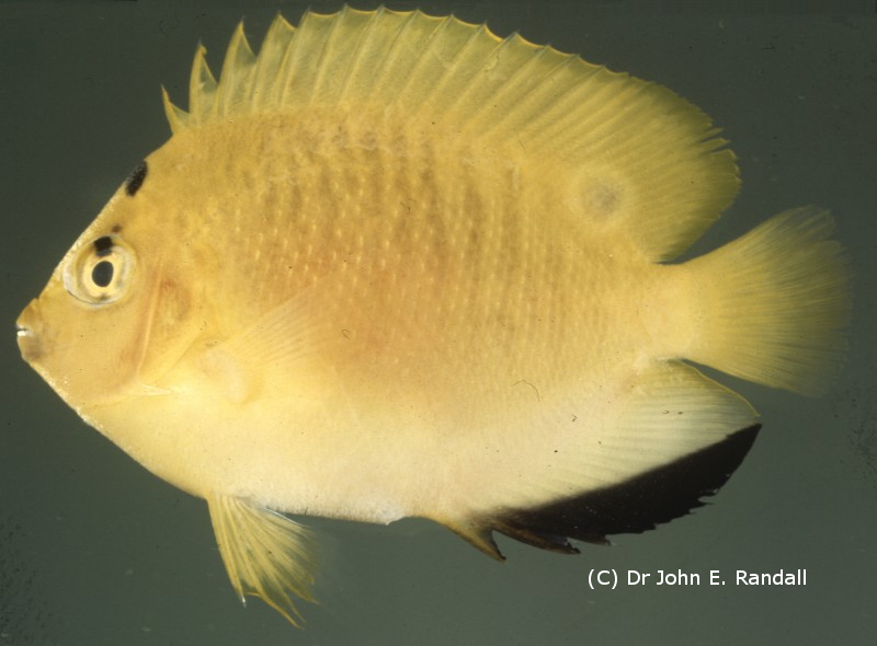 Photo de  Apolemichthys trimaculatus