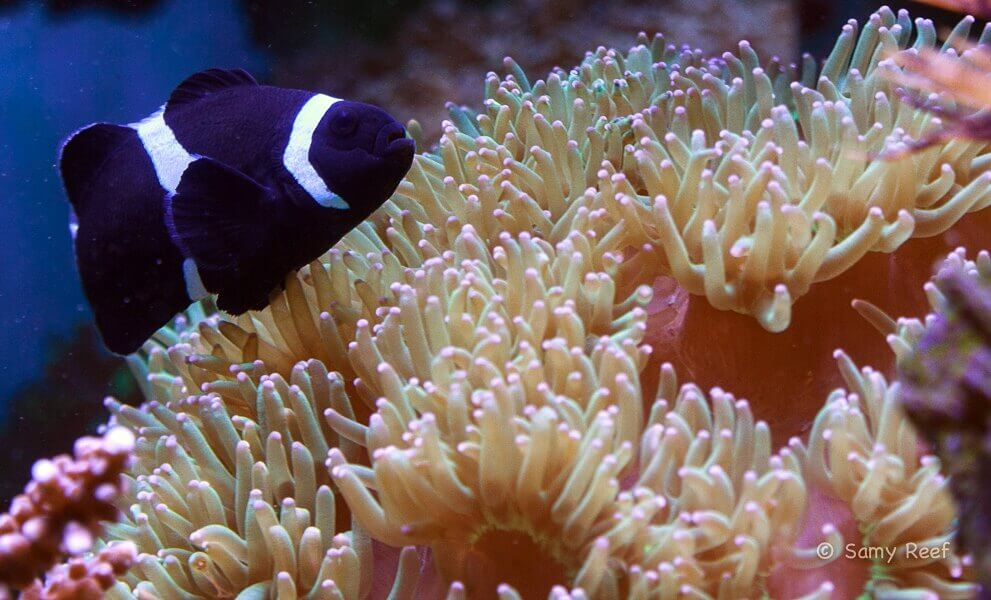 Photo de  Amphiprion ocellaris