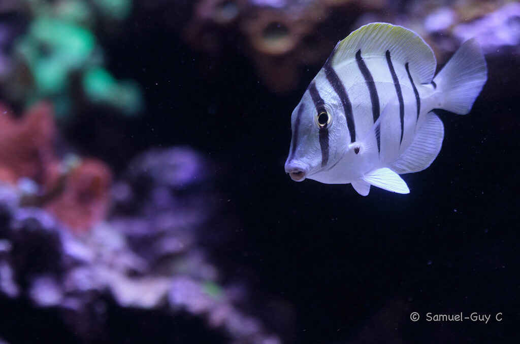 Photo de Acanthurus triostegus