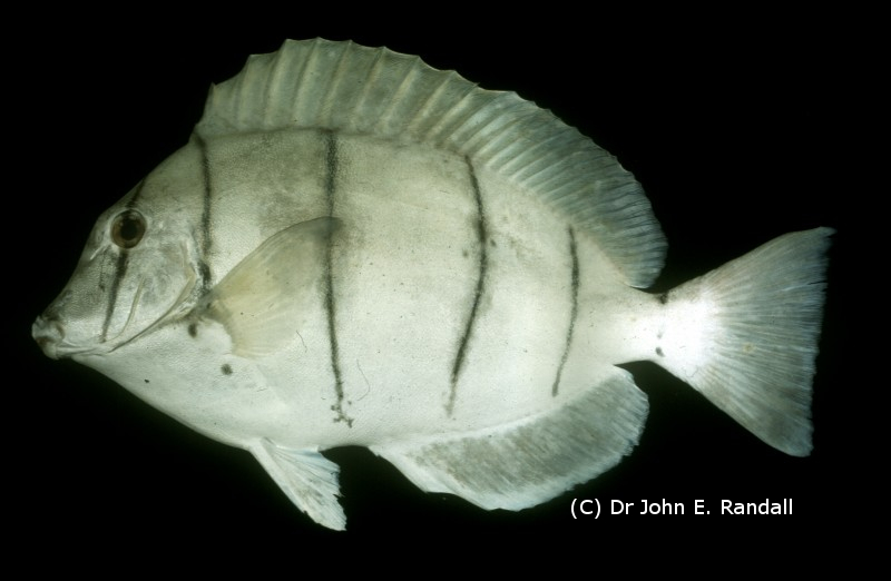 Photo de Poisson Acanthurus triostegus