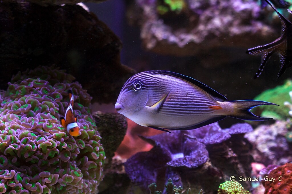 Photo de Acanthurus sohal
