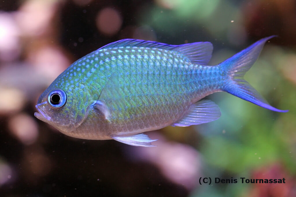Photo de Poisson Chromis viridis