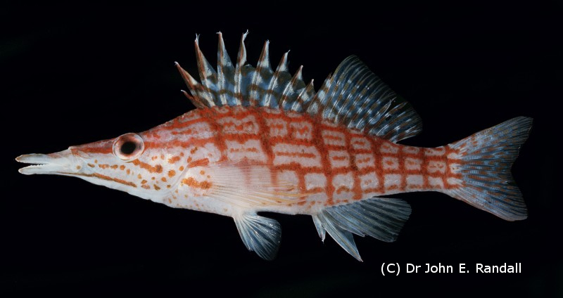 Photo de Poisson Oxycirrhites typus