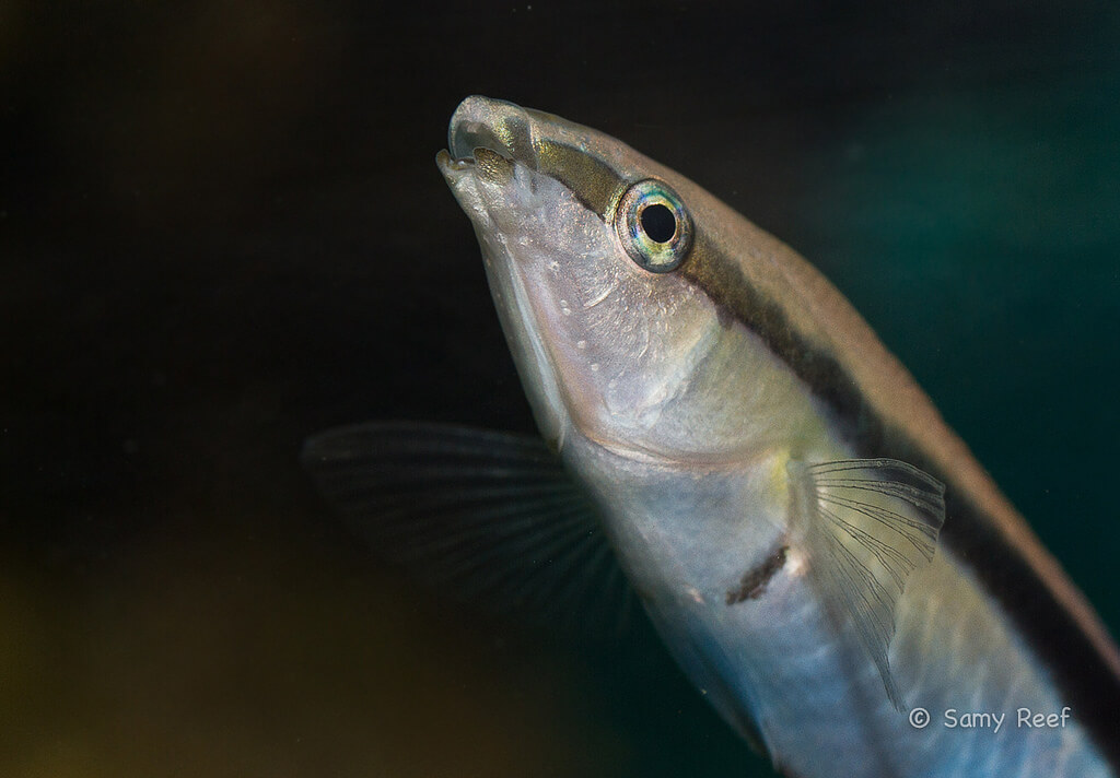 Photo de Poisson Labroides dimidiatus