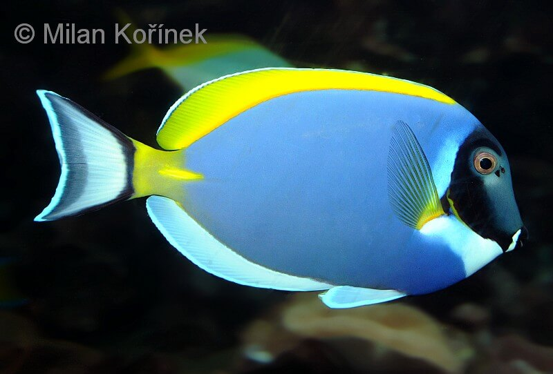 Photo de Acanthurus leucosternon