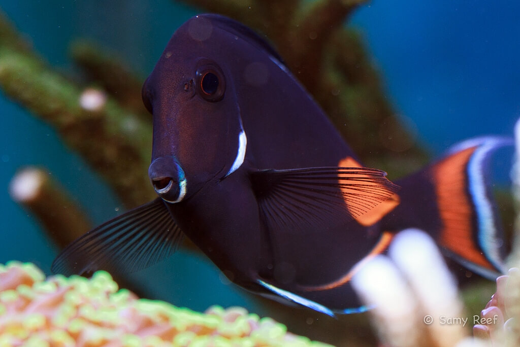 Photo de  Acanthurus achilles