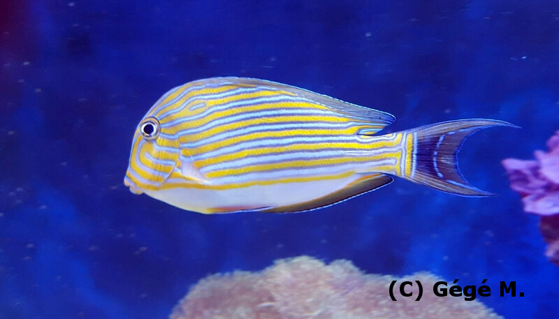 Photo de Acanthurus lineatus