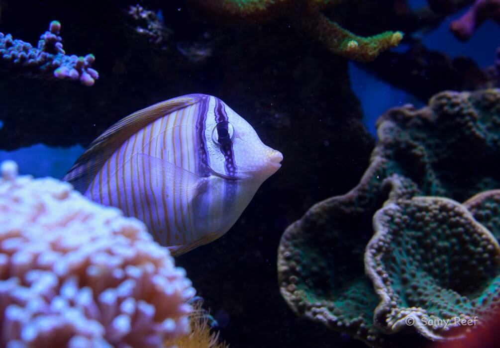 Photo de Poisson Zebrasoma desjardinii
