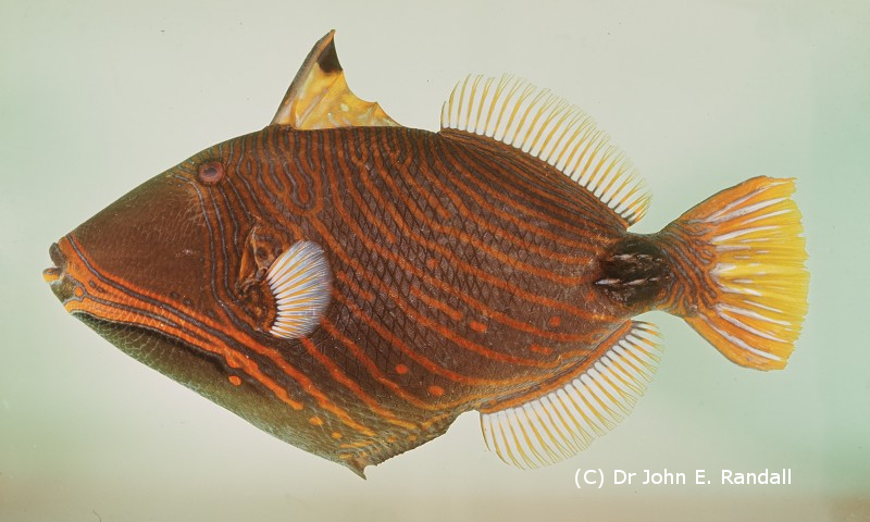 Photo de Poisson Balistapus undulatus