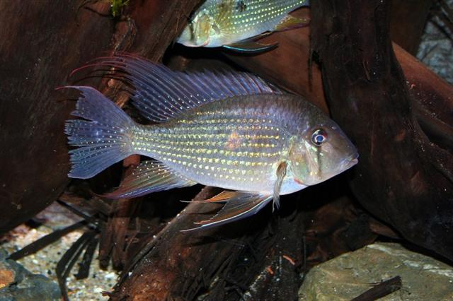 Photo de  Acarichthys heckelii, J Bukkems