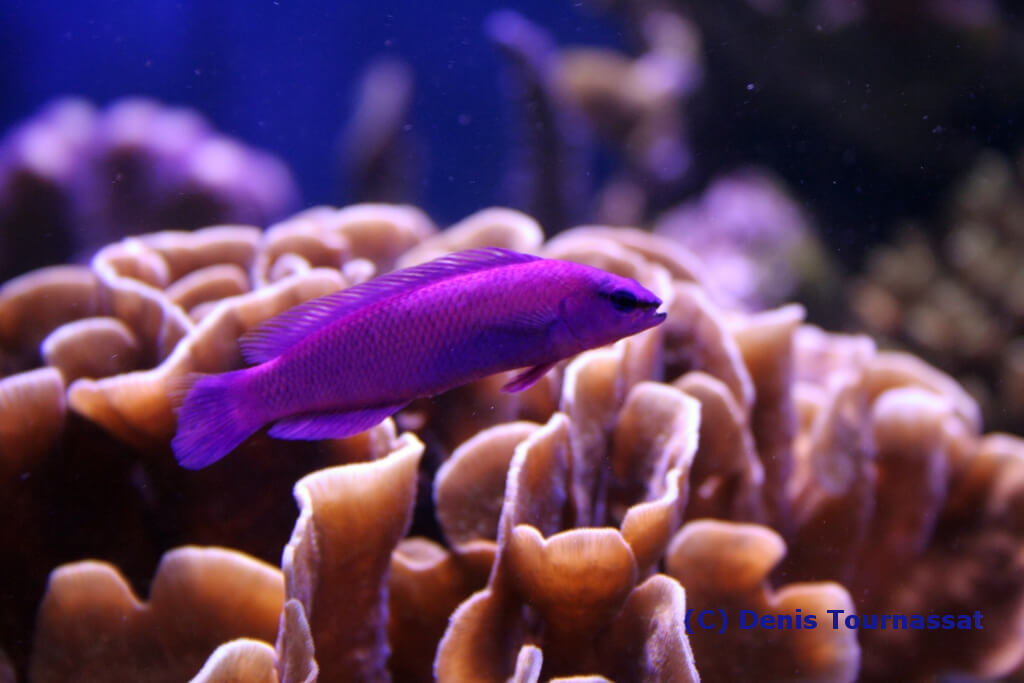 Photo de  Pseudochromis fridmani