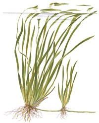 Photo de Vallisneria spiralis var.