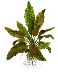 Photo de Cryptocoryne wendtii var.